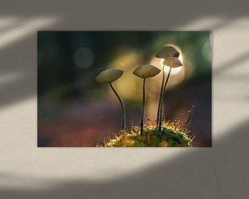 Groepje paddenstoelen in ondergaande zon