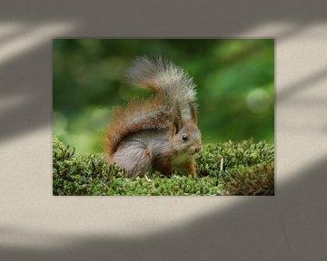 Eekhoorn van Wouter Midavaine