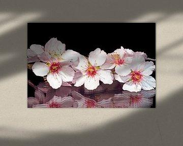 Bloeiende amandel bloesem in het voorjaar von Nisangha Masselink