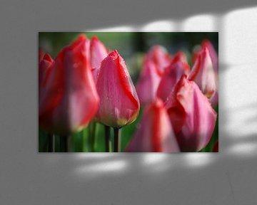 Dauwdruppels op roze tulpen von Leuntje 's shop