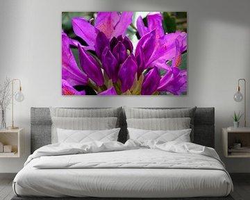 Rododendron von W J Kok