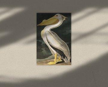 Nashornpelikan, John J. Audubon