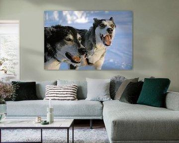 Blaffende honden bijten niet - Zweedse sledehonden