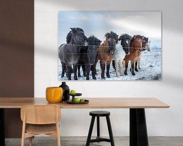 IJslandse pony's sur Eddy Reynecke