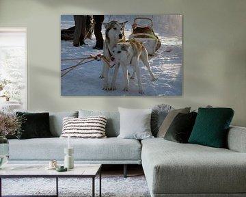 Slede honden
