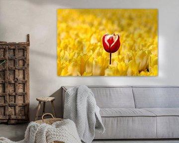 Rood witte tulp tussen gele tulpen van W J Kok