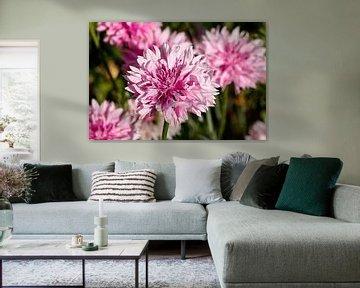 Roze korenbloem von W J Kok