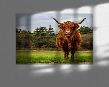Schotse Hooglander Texel van Texel360Fotografie Richard Heerschap