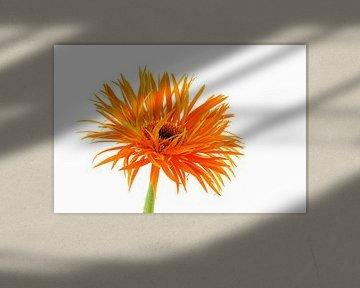 Gerbera Spider Orange