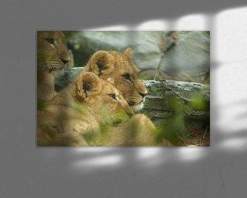 Leeuwenwelpjes. van Marianne Kemmeren