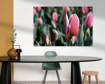 Red Tulips from Holland - 2015 von Timmy Bouwmann