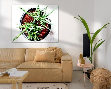 Kamerplant: Sansevieria Cylindrica Shabiki 2 von MoArt (Maurice Heuts)