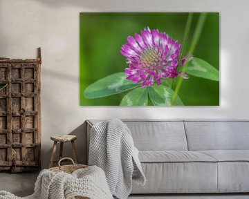 Purpurklee - Trofolium von whmpictures .com