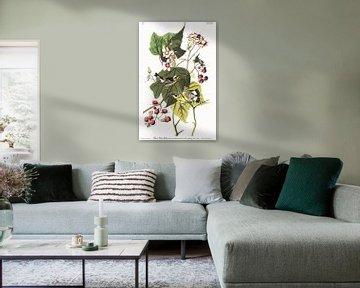 Magnoliazanger