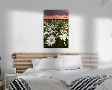 Kleurrijk margrietenveld