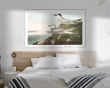 Forsterseeschwalbe