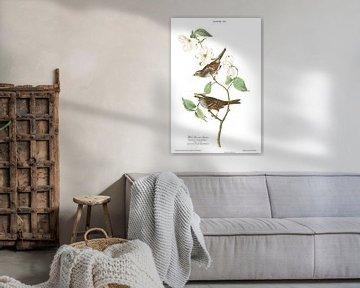 Weißkehlammer