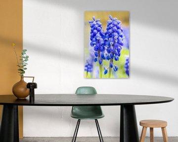 Zwei blühende blaue Muscari Blumen im Frühjahr sur Ben Schonewille