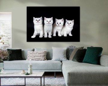 Reihe von vier weißen Kätzchen auf schwarzem Hintergrund von Ben Schonewille
