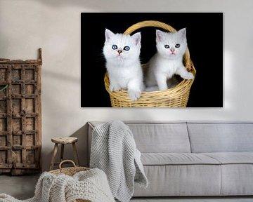 Twee witte kittens zitten in mand van Ben Schonewille