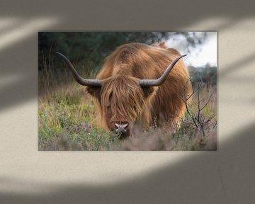 Schotse Hooglander op de Hoge Veluwe