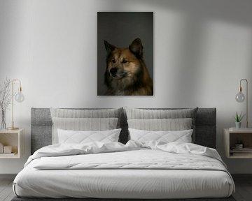 Portret Finse Lappenhond