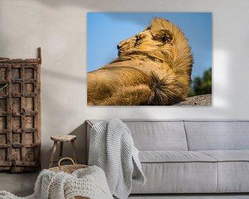 Leeuw van Stijn Cleynhens