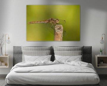 Libelle, Heidelibelle von Gert Hilbink