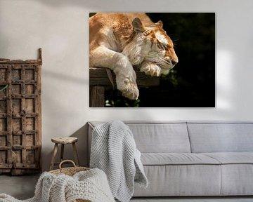 Bengaalse tijger heerlijk aan het slapen van Michar Peppenster