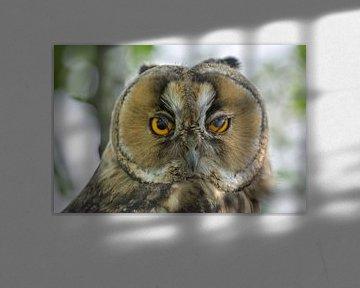 Waldohreule Kopfporträt von Bastiaan Willemsen