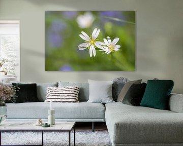 Witte muurbloem von Fotografiemg