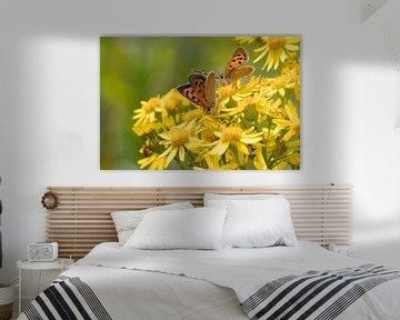 Vlinders | Kleine vuurvlinders op smalbladig kruiskruid van Servan Ott