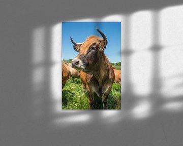 La vache Aubrac