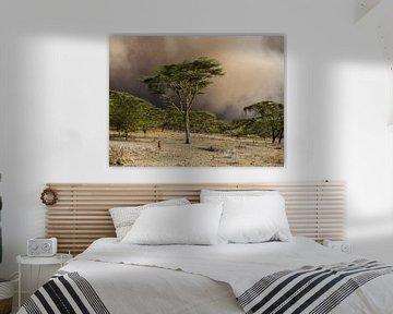 Zandstorm achter de gele Acacia bomen
