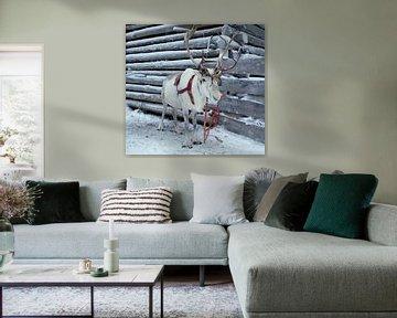 Rendier in de sneeuw van Birgitte Bergman