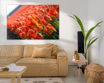 Rode/Oranje/Gele tulpen in Lisse (Holland) von O uwehand