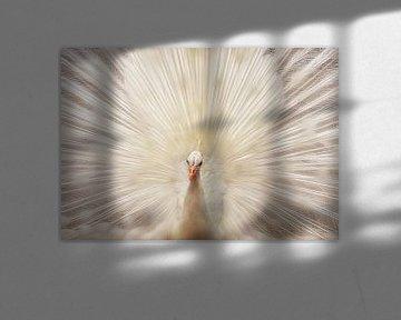 Witte pauw met verenpracht