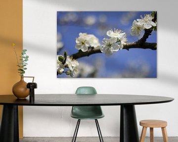 Tak met prachtige witte fruit bloesem  van de kersenboom in de lente en een helder blauwe lucht von Angelique Nijssen
