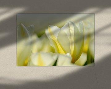 Witte tulpen dichtbij von Martin Stevens