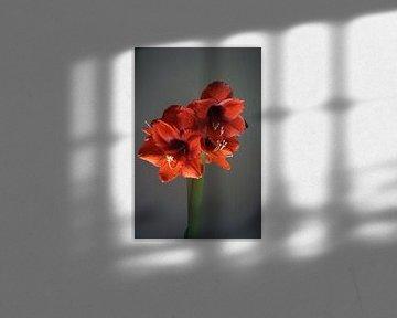 Amaryllis von Diana van Dalen