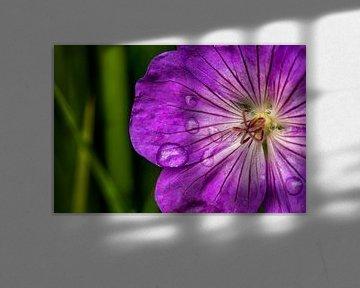 Macro van regendruppels op een paarse bloem van noeky1980 photography