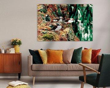 Papegaaiduikers in rust van Marcel van Berkel