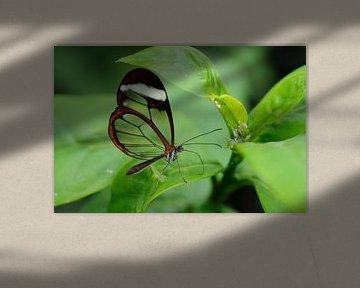 See thru butterfly (2) van Wiljo van Essen