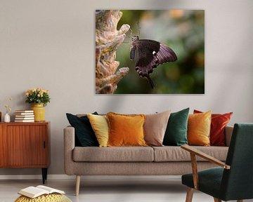 Papilio palinurus sur Jos Reimering