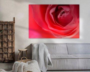 Roze roos 'close up' von Carola van Rooy