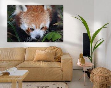 Rode panda close-up von Dennis Mullenders