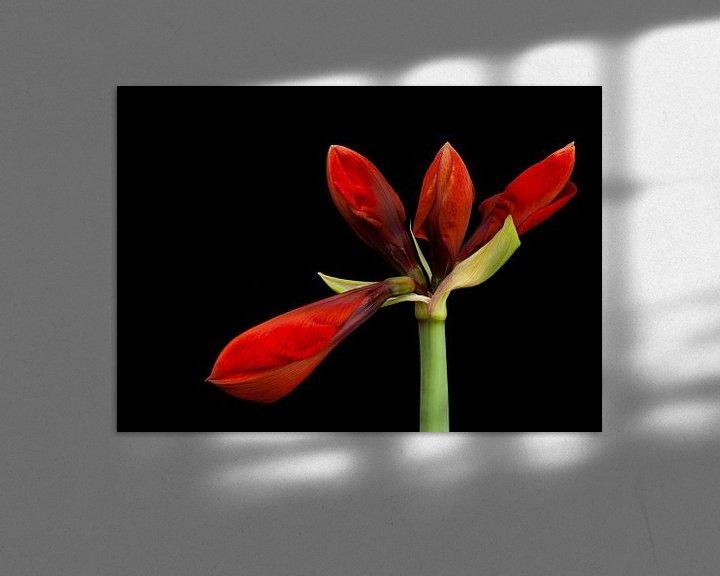 Sfeerimpressie: Ontluikende Amaryllis van Paul Kampman