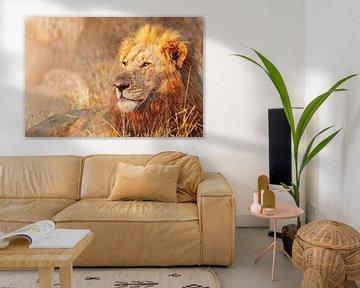 Löwe im Abendlicht, Südafrika