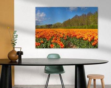 Tulpen bij de Noordwijkse duinen in de Bollenstreek van Marcel Verheggen