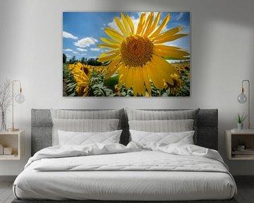 Strahlende Sonnenblume gegen blaues Licht von Fotografiecor .nl